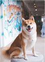 柴犬Nana X 阿楞的萌日誌