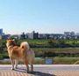 呆萌無敵!柴犬MARU:汪汪散步去(附DVD)