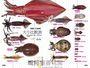 頭足類完全識別圖解:29種常見頭足類全解析